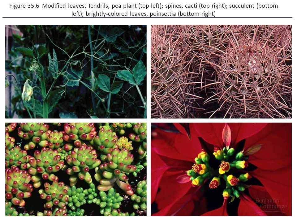 Figure 35.6 Modified leaves: Tendrils, pea plant (top left); spines, cacti (top right); succulent (bottom left); brightly-colored leaves, poinsettia (bottom right)