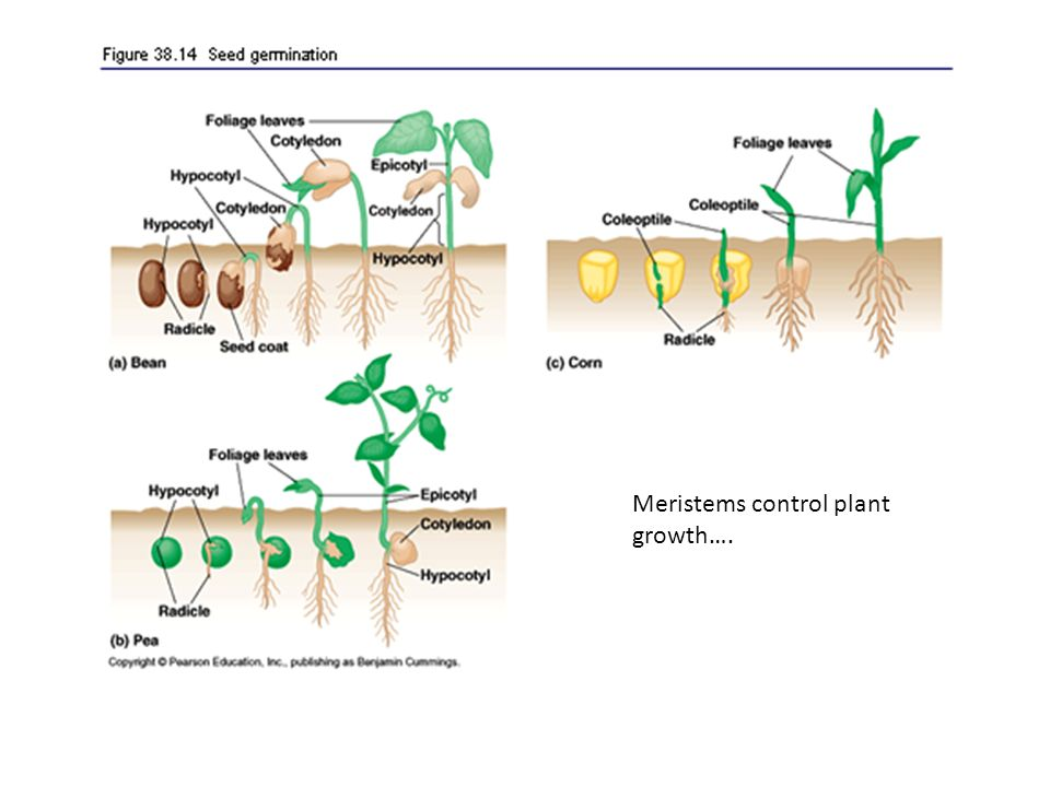 Meristems control plant growth….