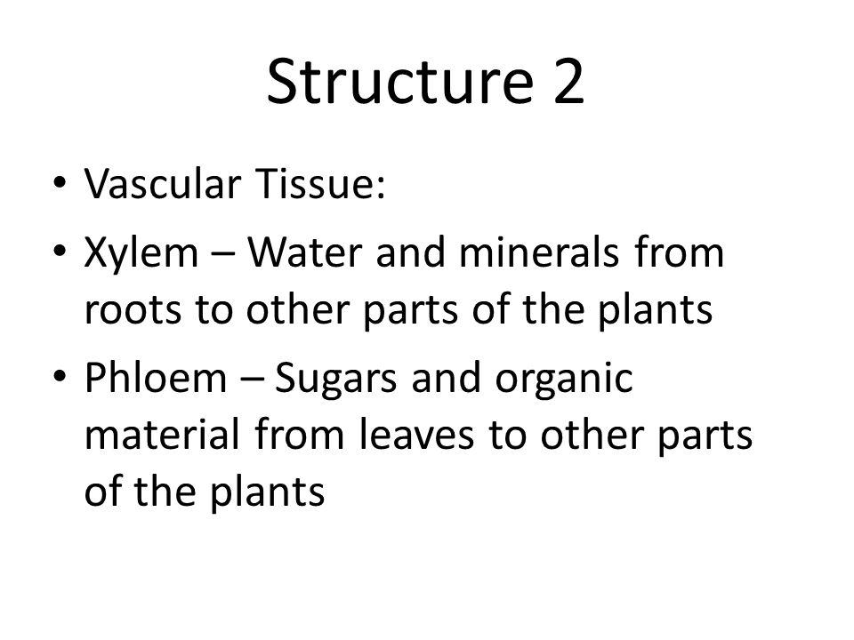 Structure 2 Vascular Tissue: