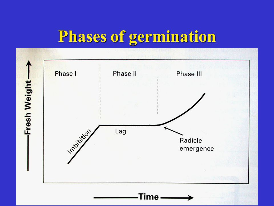 Phases of germination