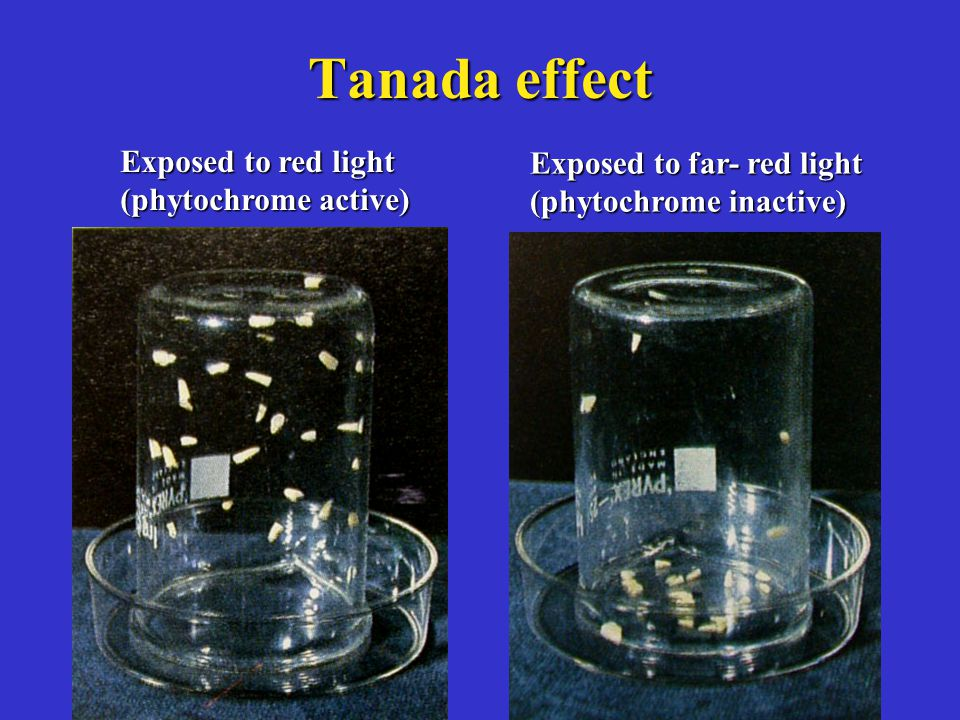 Tanada effect Exposed to red light Exposed to far- red light
