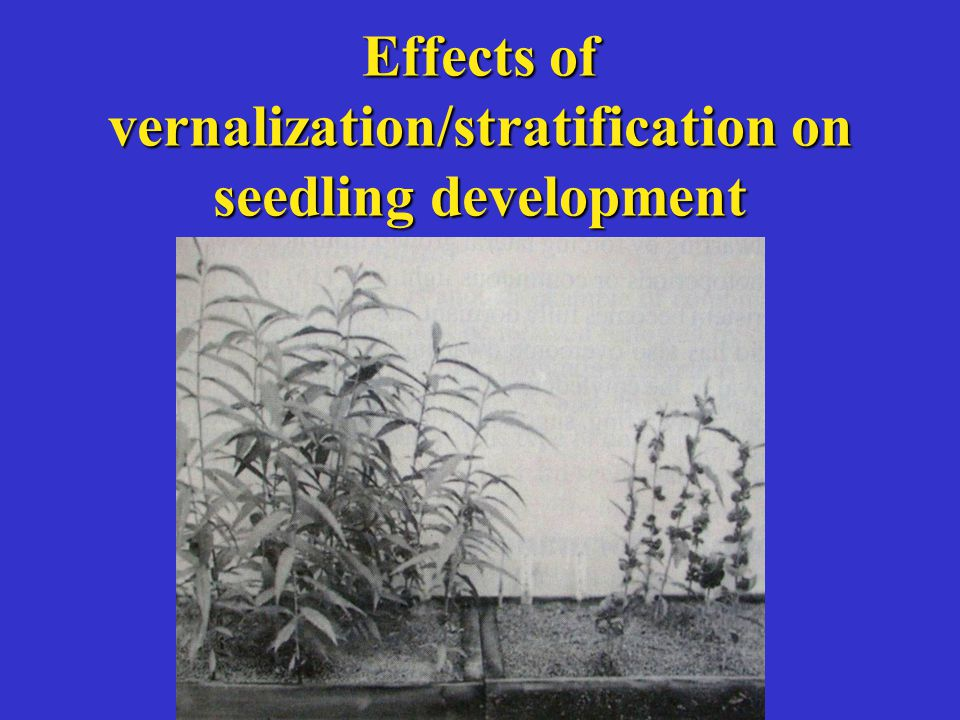 Effects of vernalization/stratification on seedling development