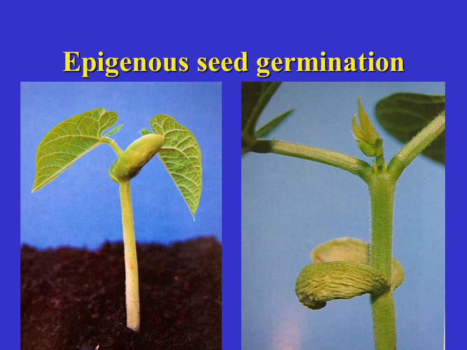 Epigenous seed germination