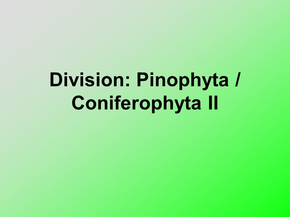 Division: Pinophyta / Coniferophyta II