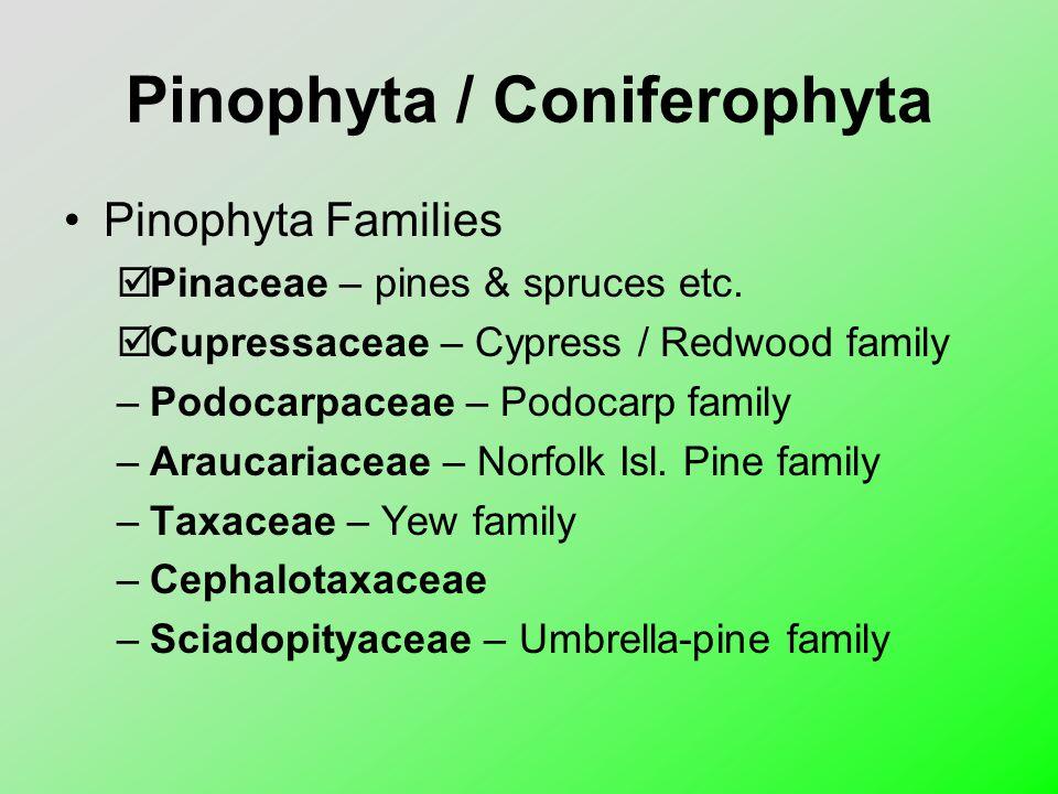 Pinophyta / Coniferophyta
