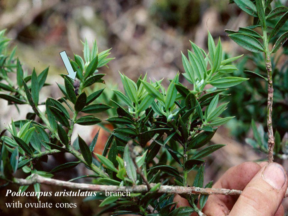 Podocarpus aristulatus - branch with ovulate cones