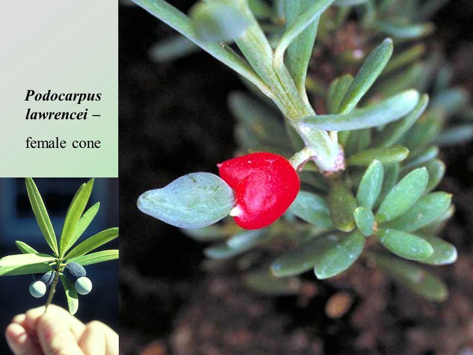 Podocarpus lawrencei –