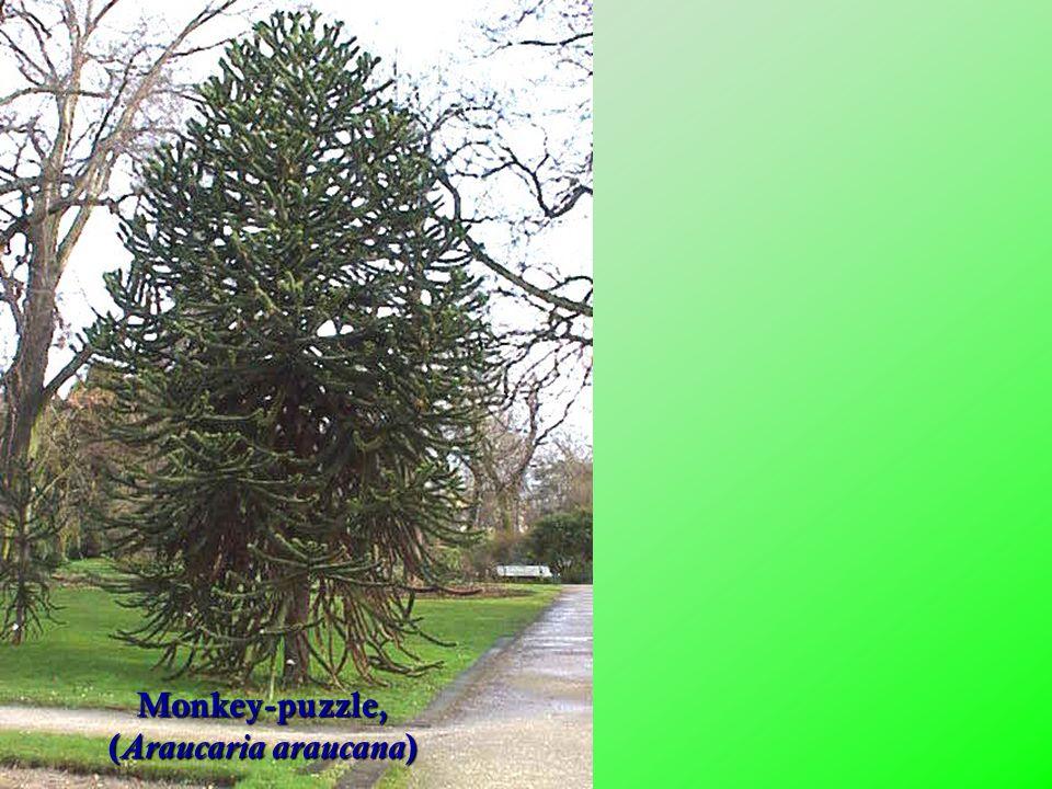 Monkey-puzzle, (Araucaria araucana)