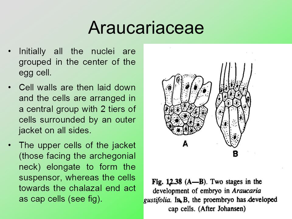 Araucariaceae Initially all the nuclei are grouped in the center of the egg cell.