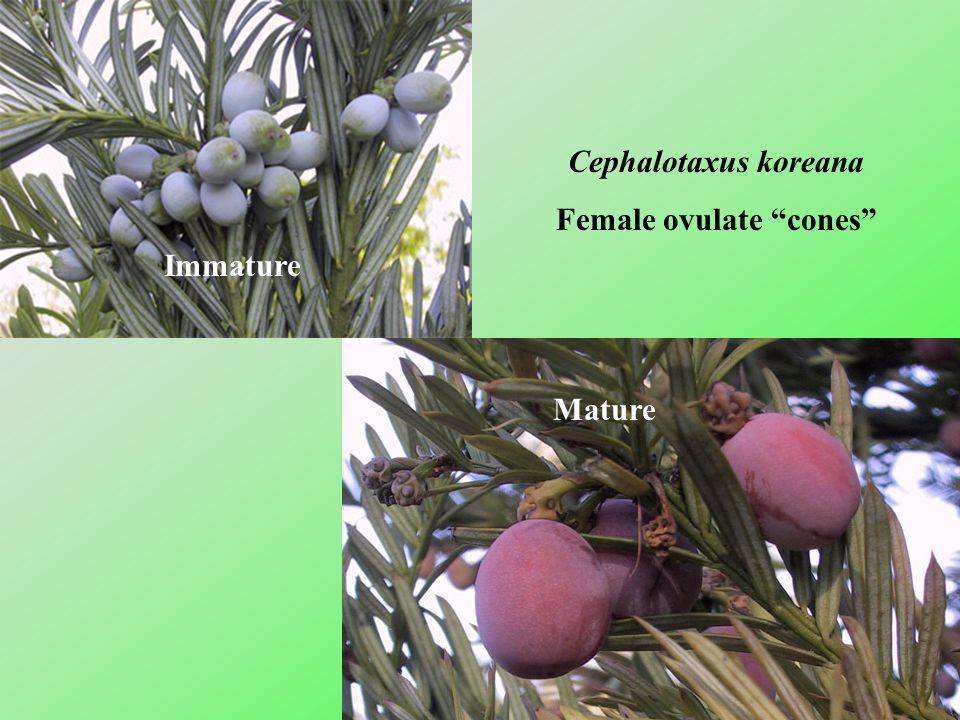 Female ovulate cones