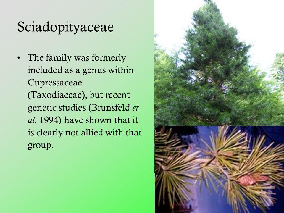 Sciadopityaceae