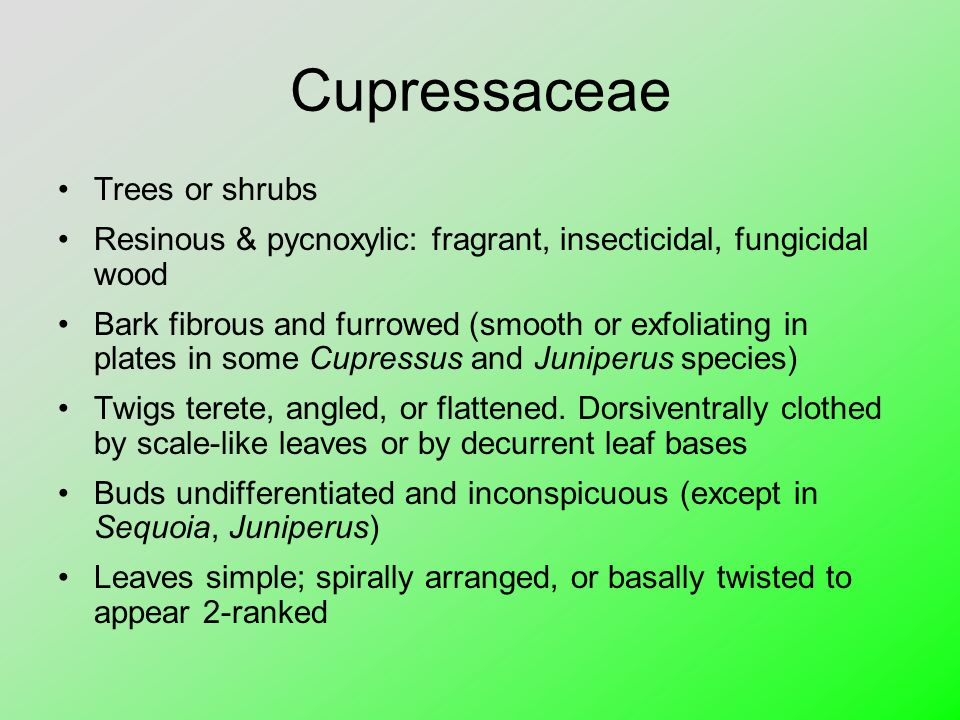 Cupressaceae Trees or shrubs