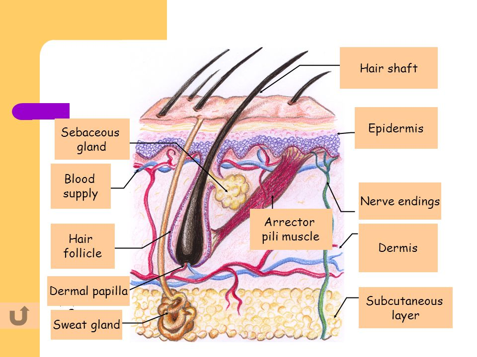 Hair shaft Hair shaft. Epidermis. Sebaceous. gland. Sebaceous. gland. Epidermis. Blood. supply.