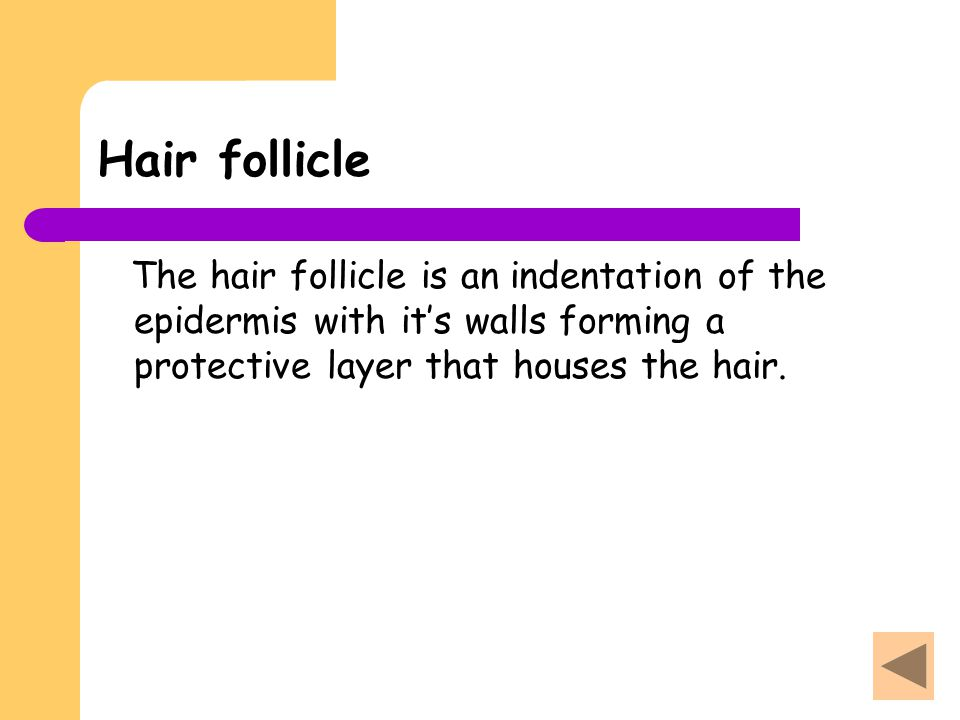 Hair follicle The hair follicle is an indentation of the epidermis with it's walls forming a protective layer that houses the hair.