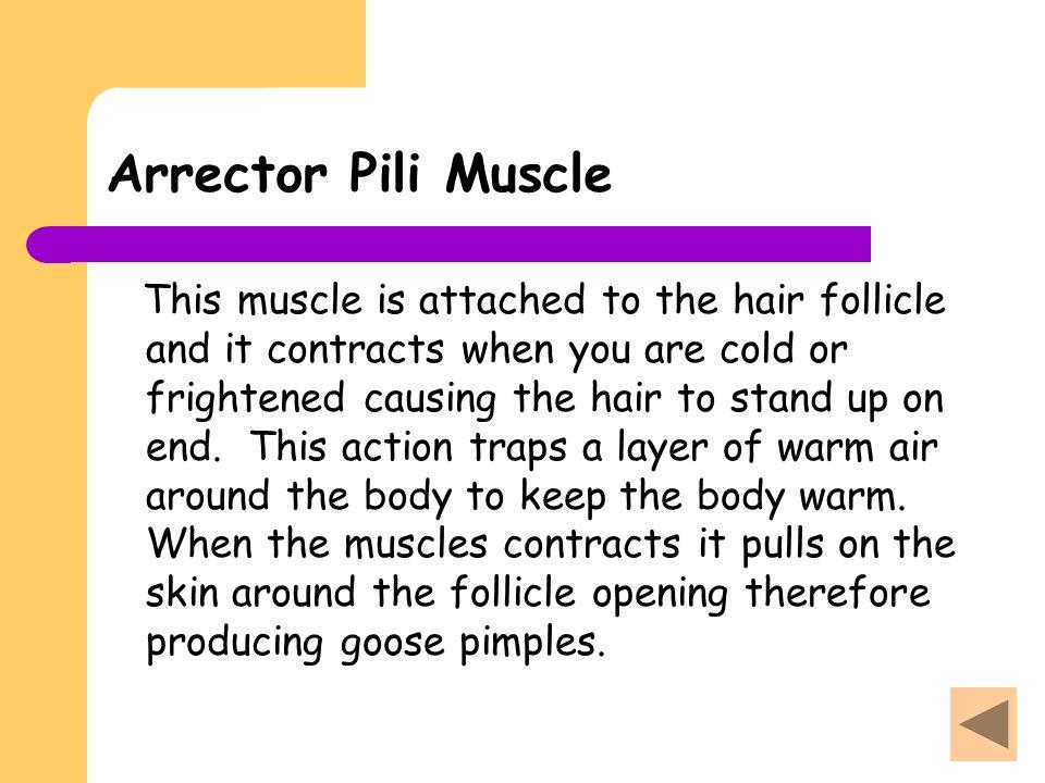 Arrector Pili Muscle