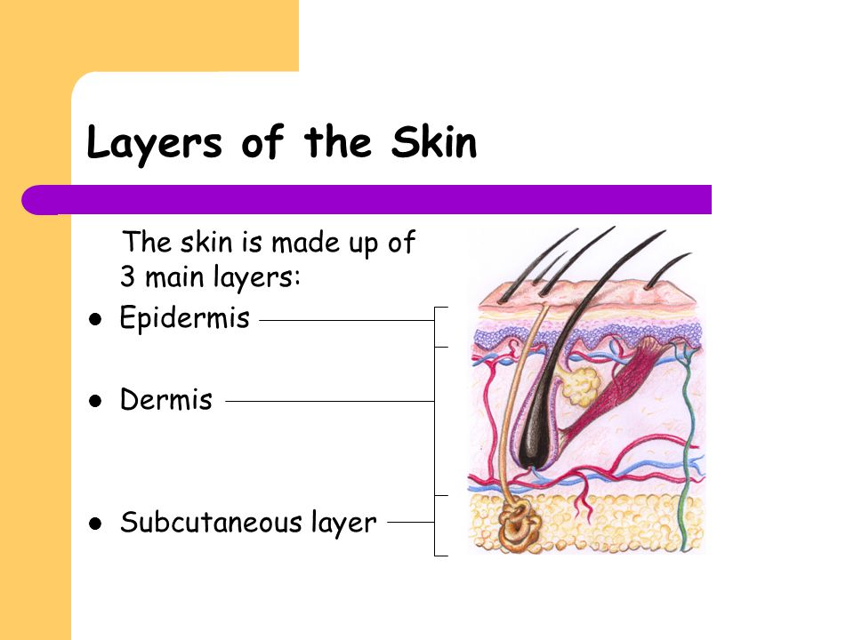 Layers of the Skin The skin is made up of 3 main layers: Epidermis