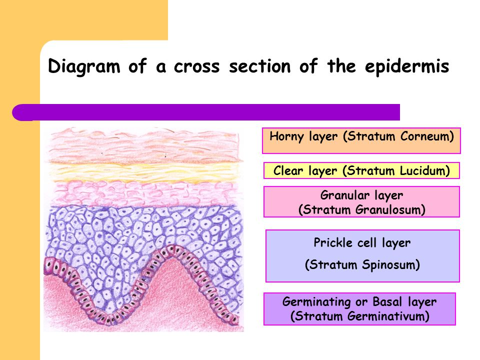 Diagram of a cross section of the epidermis