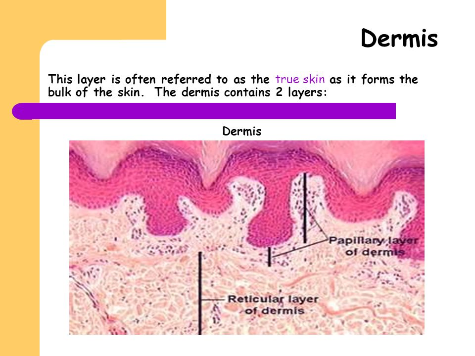 Dermis This layer is often referred to as the true skin as it forms the bulk of the skin. The dermis contains 2 layers: