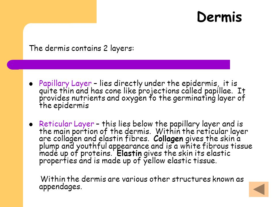 Dermis The dermis contains 2 layers: