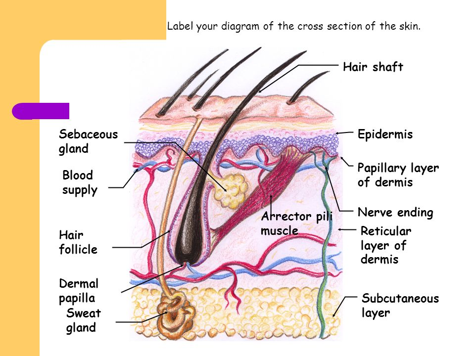 Papillary layer of dermis Blood supply