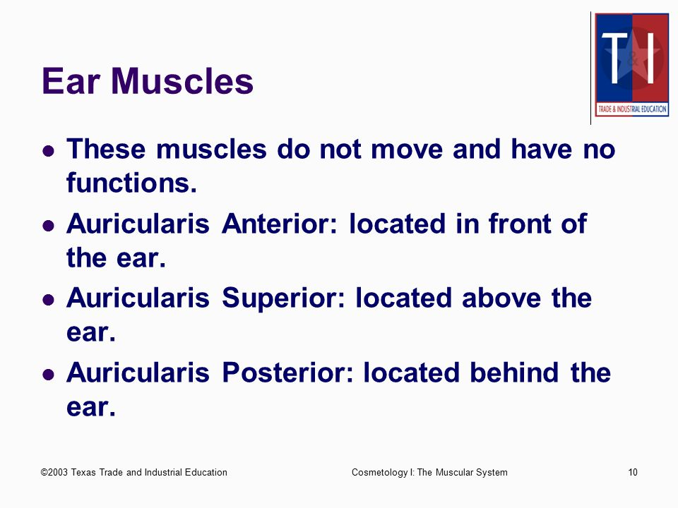 Ear Muscles These muscles do not move and have no functions.