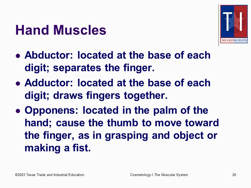 Hand Muscles Abductor: located at the base of each digit; separates the finger. Adductor: located at the base of each digit; draws fingers together.