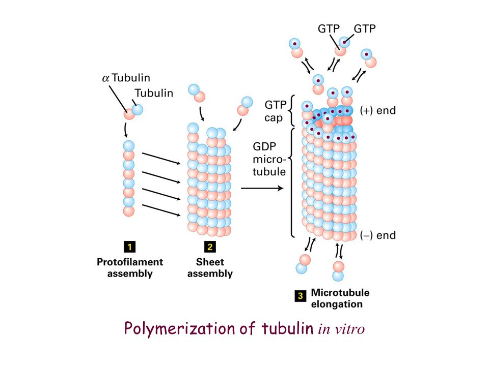 Polymerization of tubulin in vitro
