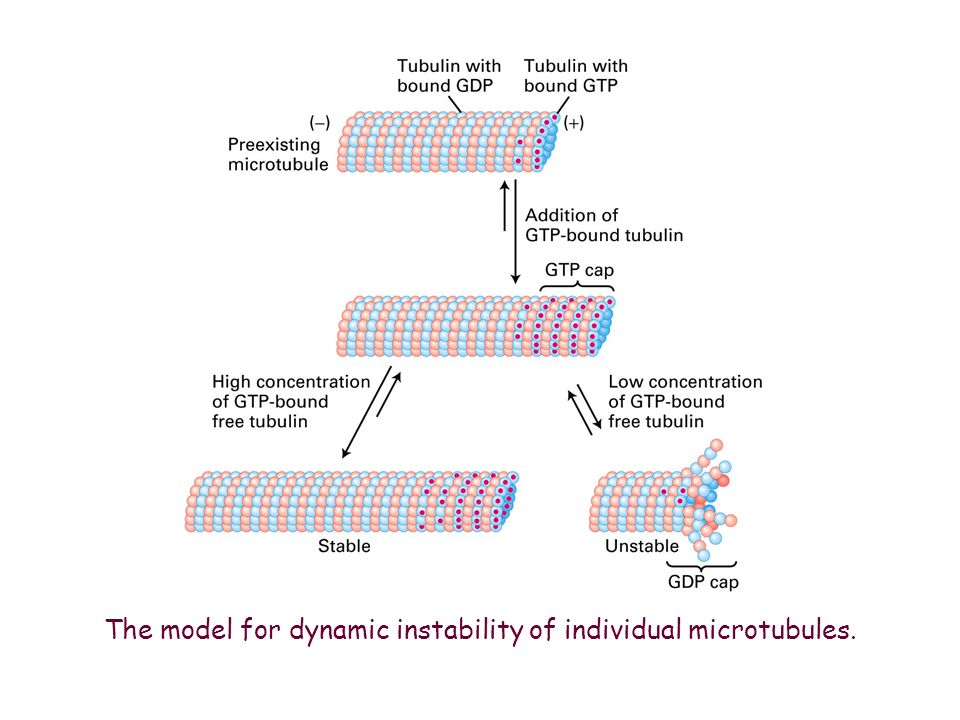The model for dynamic instability of individual microtubules.