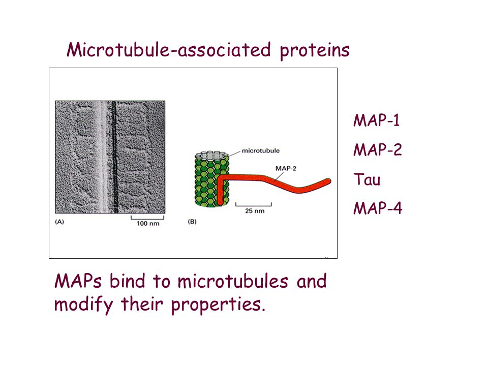 Microtubule-associated proteins