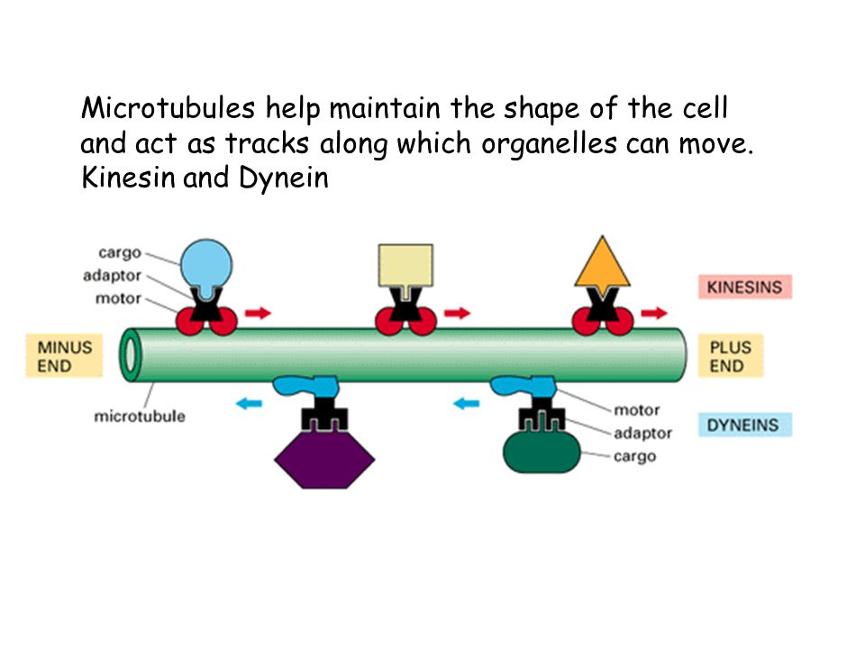 Microtubules help maintain the shape of the cell and act as tracks along which organelles can move.