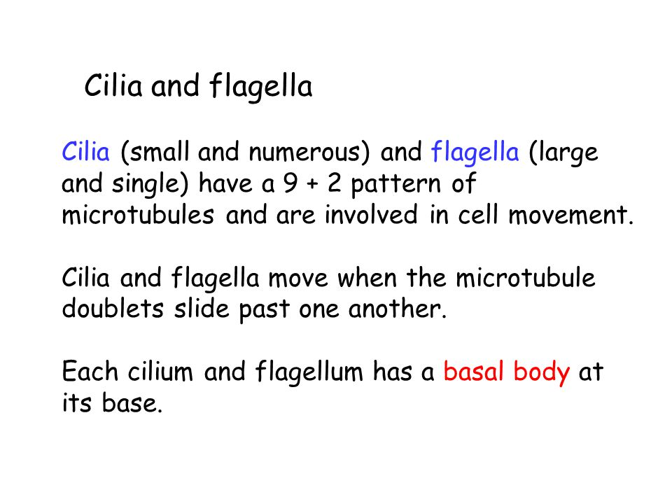 Cilia and flagella Cilia (small and numerous) and flagella (large and single) have a 9 + 2 pattern of microtubules and are involved in cell movement.