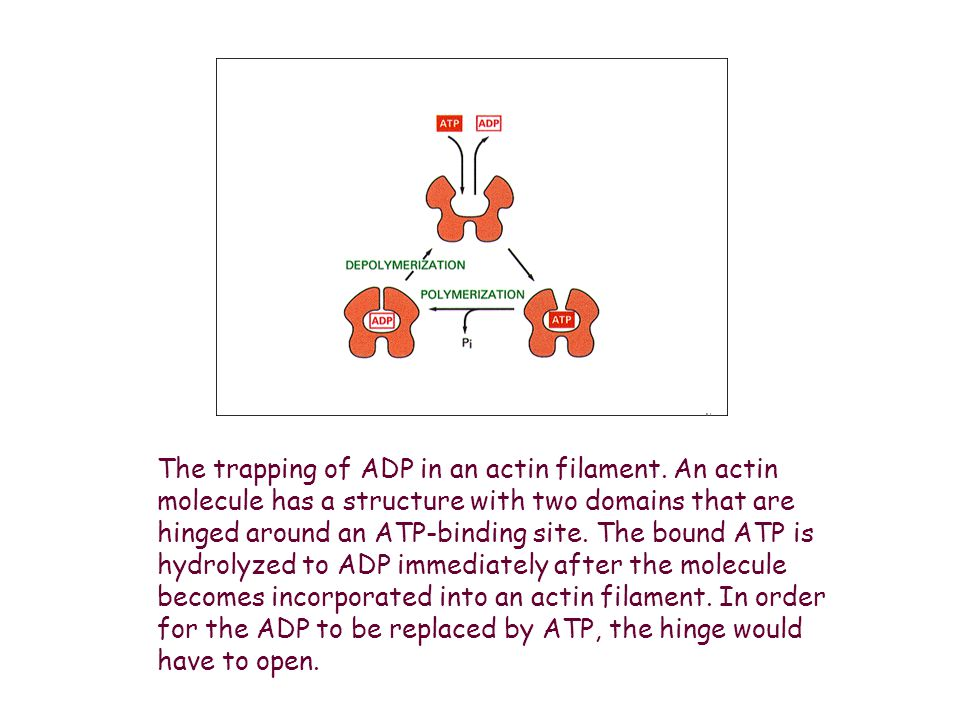 The trapping of ADP in an actin filament
