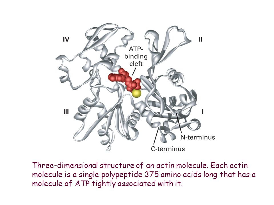 Three-dimensional structure of an actin molecule