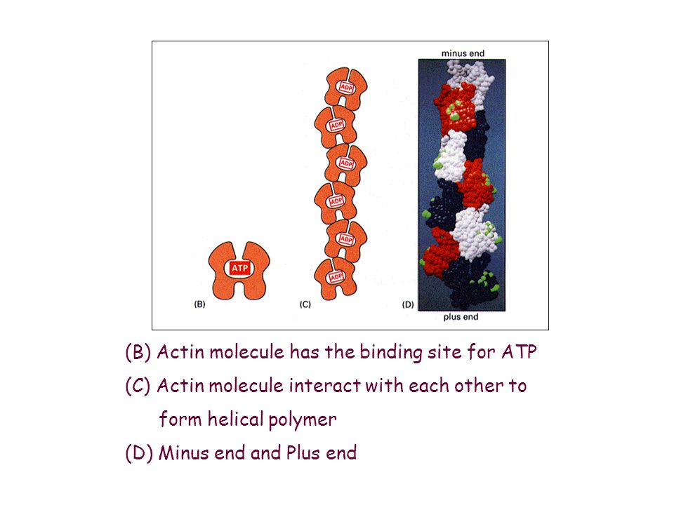 (B) Actin molecule has the binding site for ATP