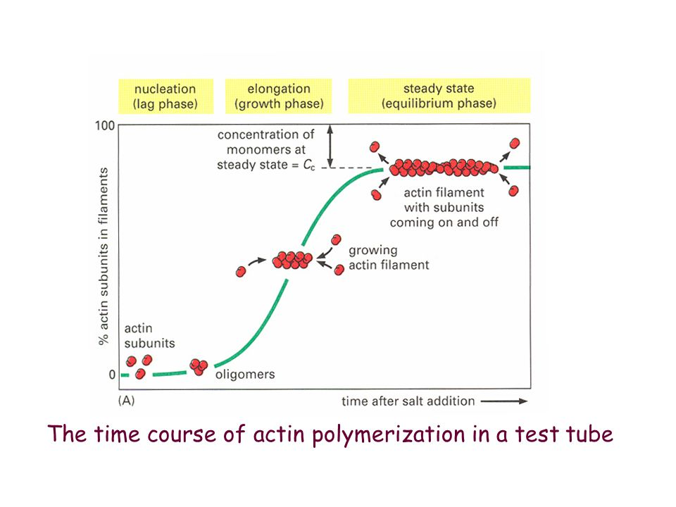 The time course of actin polymerization in a test tube