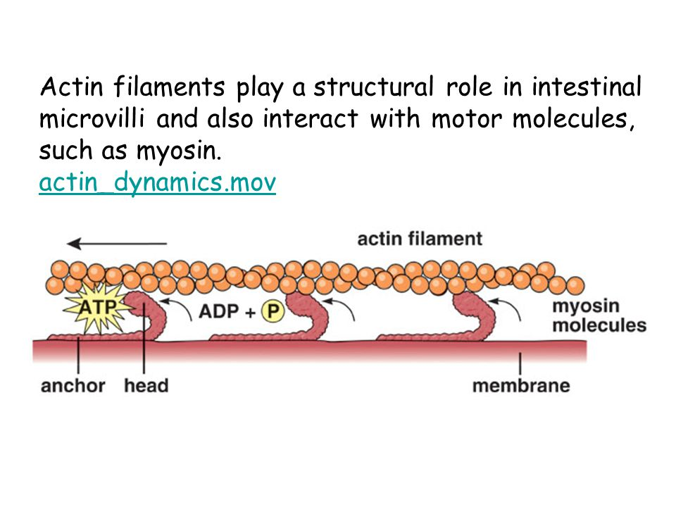 Actin filaments play a structural role in intestinal microvilli and also interact with motor molecules, such as myosin.
