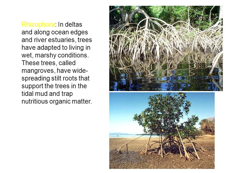 Rhizophora: In deltas and along ocean edges and river estuaries, trees have adapted to living in wet, marshy conditions.