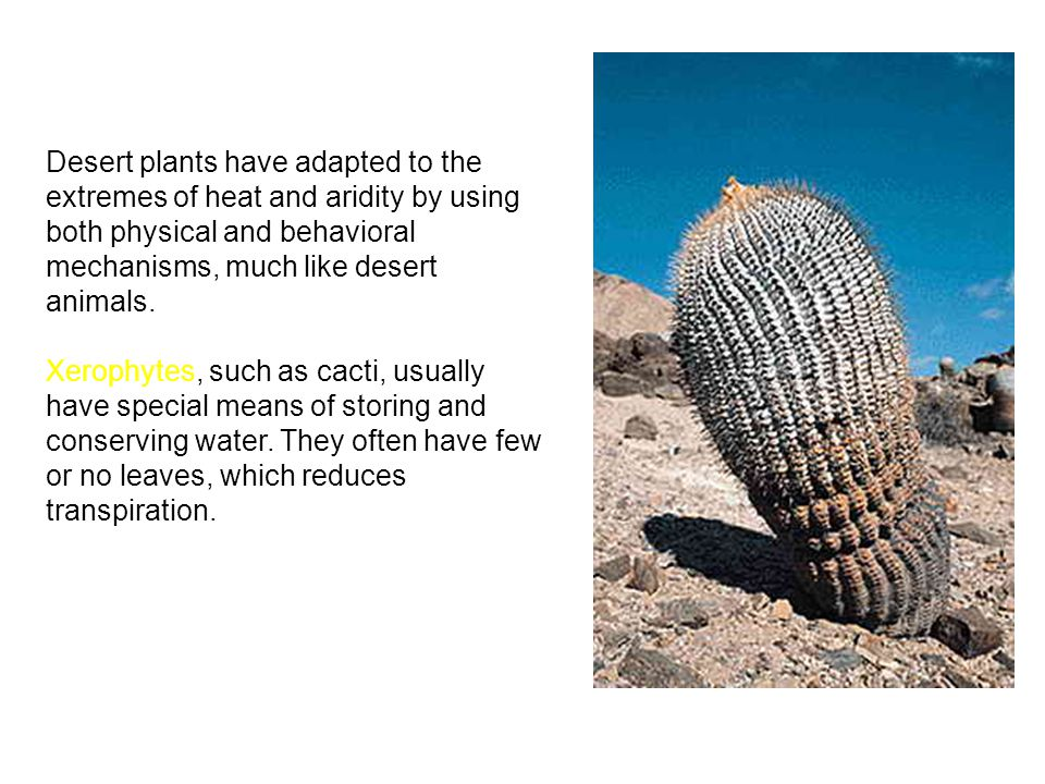Desert plants have adapted to the extremes of heat and aridity by using both physical and behavioral mechanisms, much like desert animals.