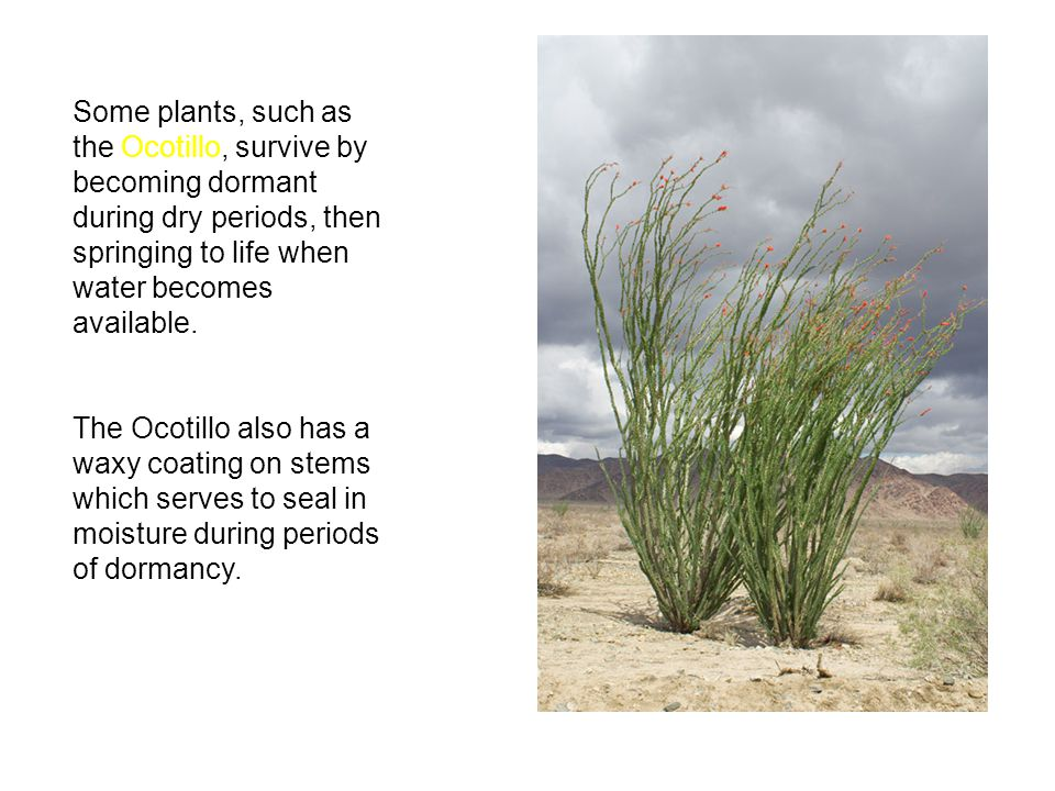 Some plants, such as the Ocotillo, survive by becoming dormant during dry periods, then springing to life when water becomes available.