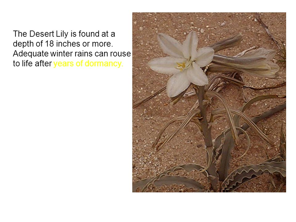 The Desert Lily is found at a depth of 18 inches or more