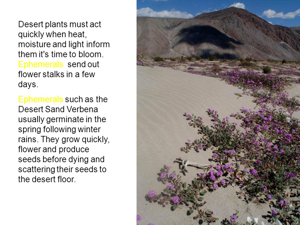 Desert plants must act quickly when heat, moisture and light inform them it s time to bloom. Ephemerals send out flower stalks in a few days.
