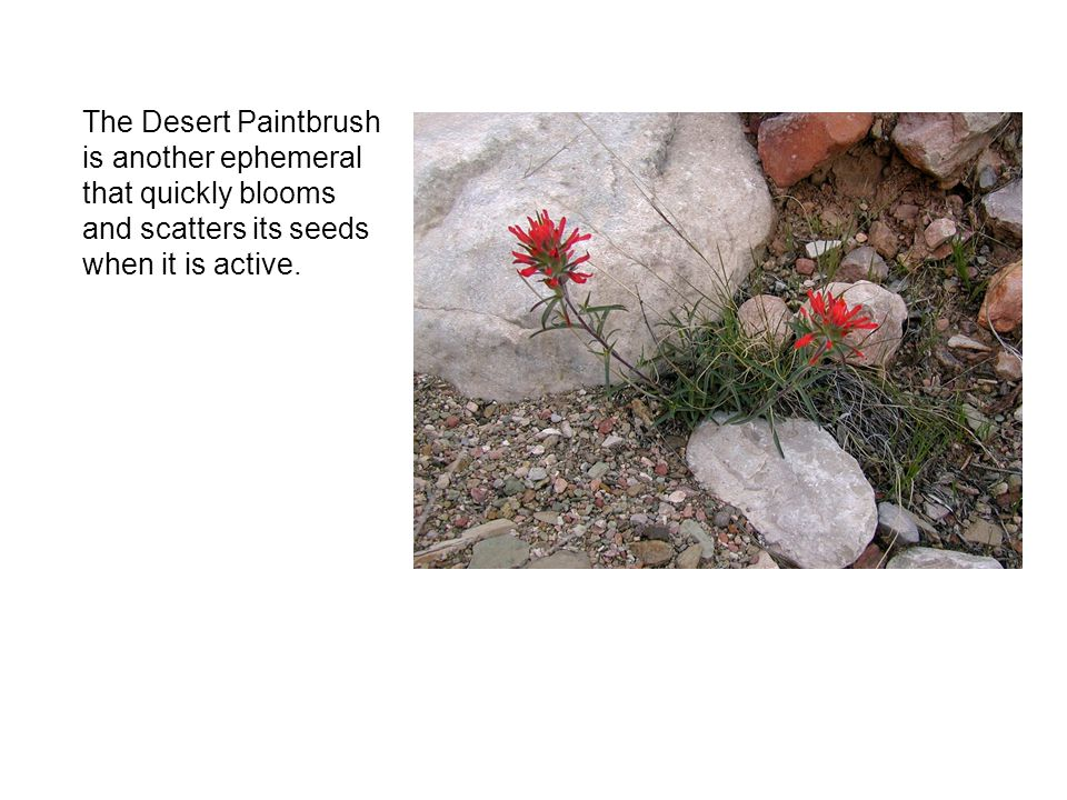 The Desert Paintbrush is another ephemeral that quickly blooms and scatters its seeds when it is active.