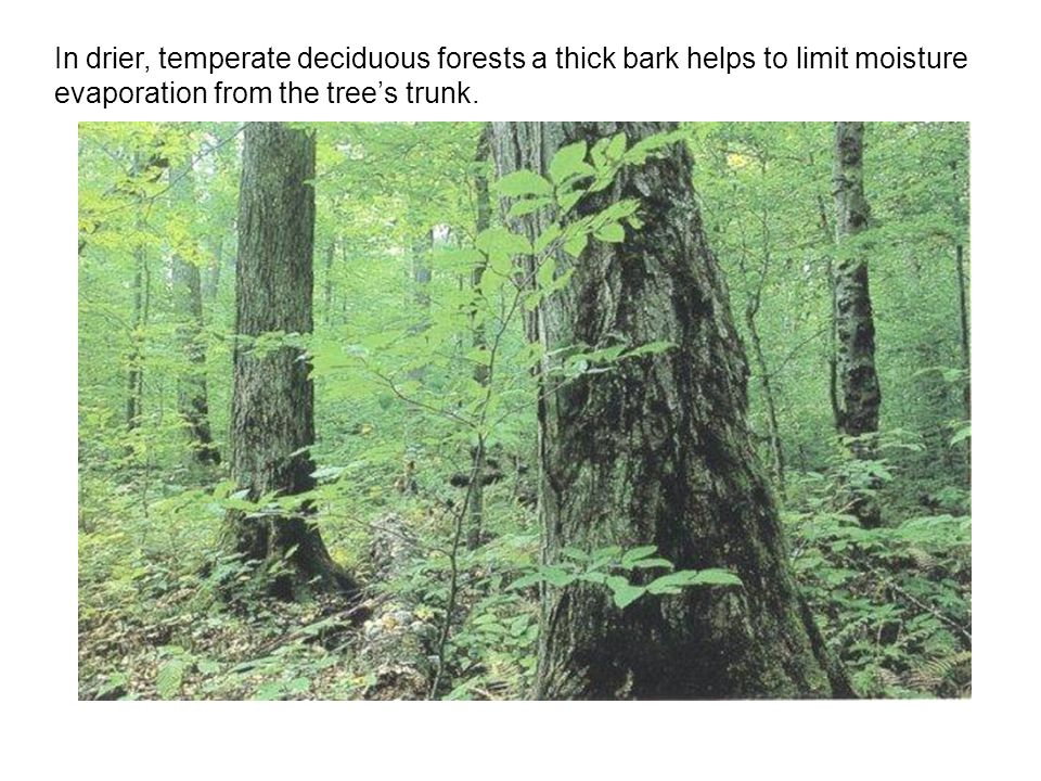 In drier, temperate deciduous forests a thick bark helps to limit moisture evaporation from the tree's trunk.