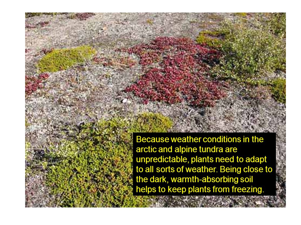 Because weather conditions in the arctic and alpine tundra are unpredictable, plants need to adapt to all sorts of weather.