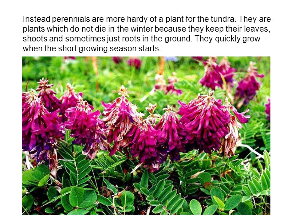 Instead perennials are more hardy of a plant for the tundra