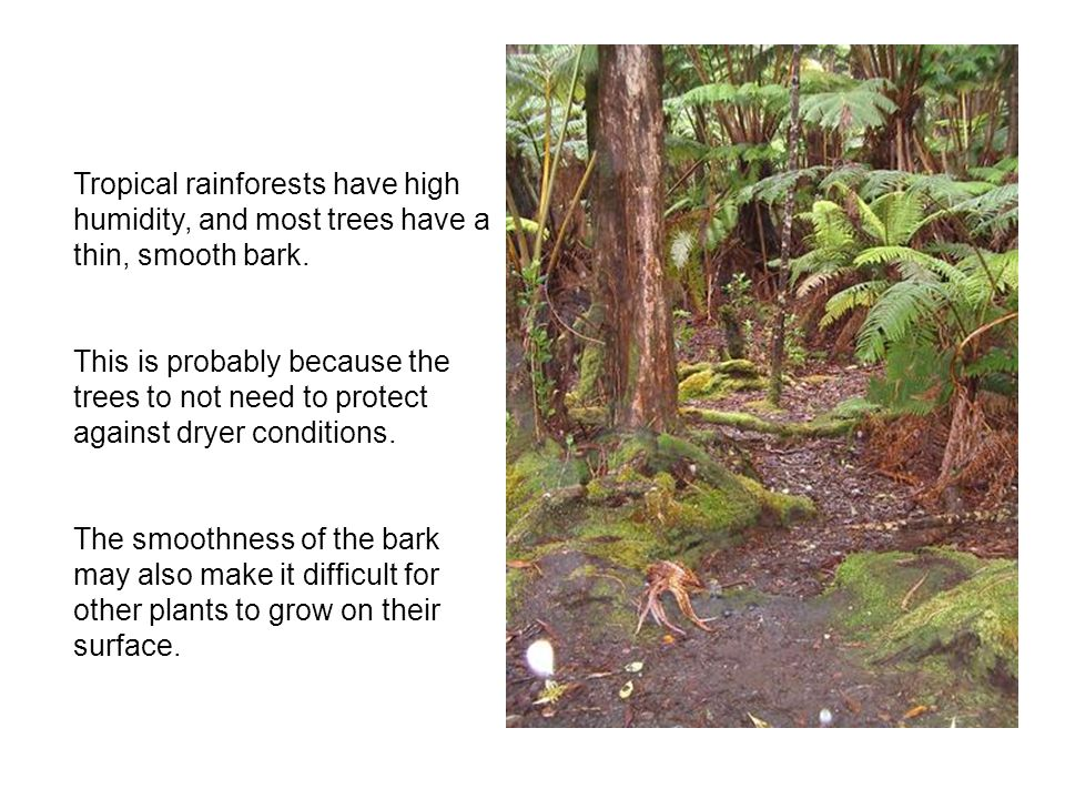 Tropical rainforests have high humidity, and most trees have a thin, smooth bark.
