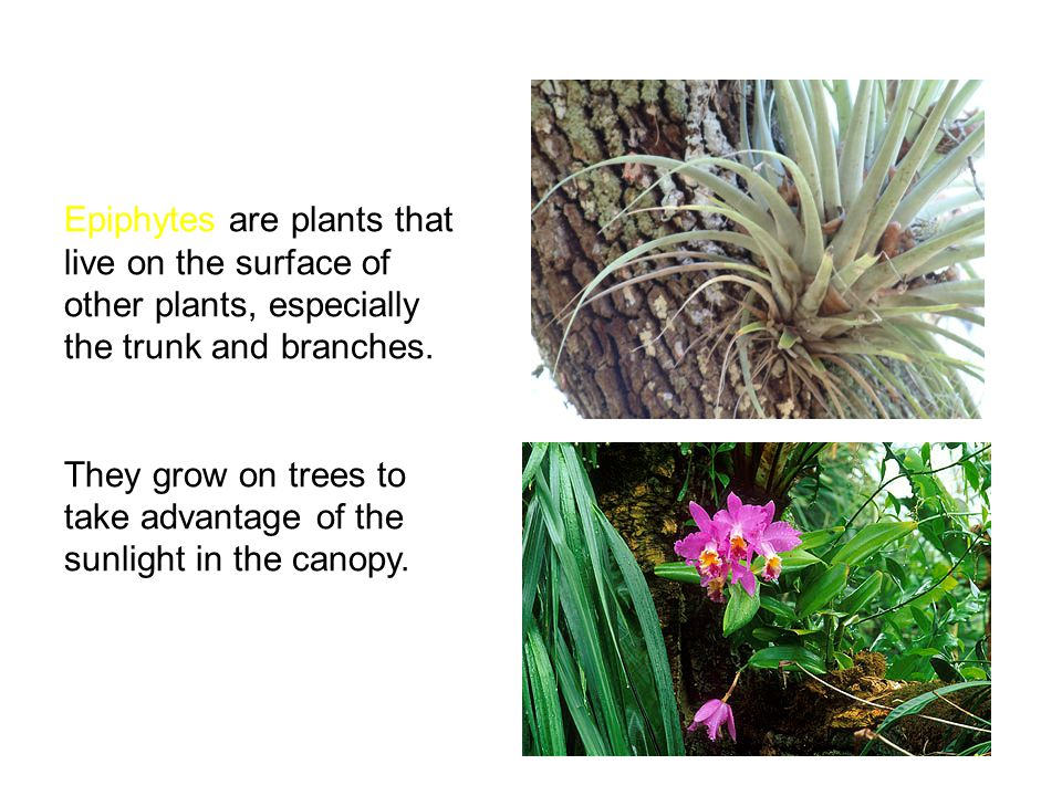 Epiphytes are plants that live on the surface of other plants, especially the trunk and branches.
