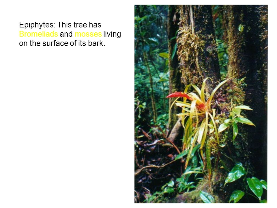 Epiphytes: This tree has Bromeliads and mosses living on the surface of its bark.