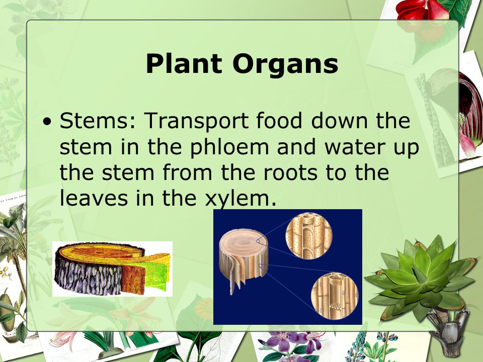 Plant Organs Stems: Transport food down the stem in the phloem and water up the stem from the roots to the leaves in the xylem.