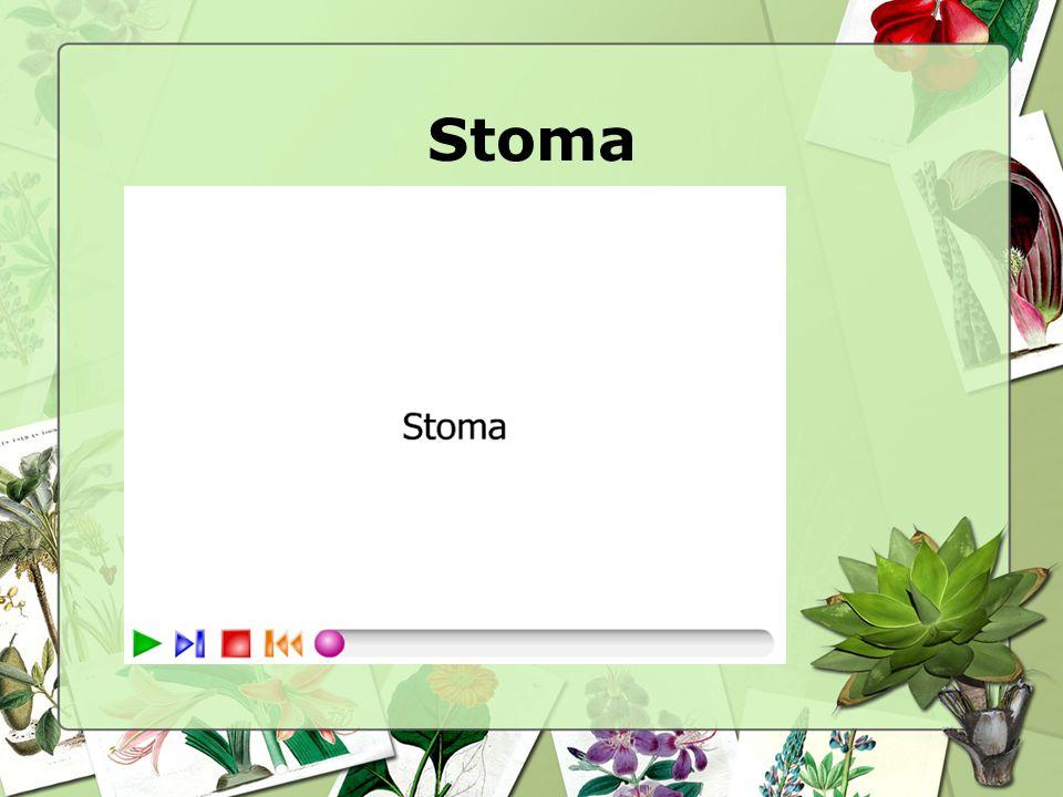 Stoma